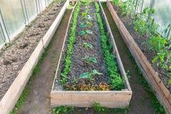 Gemüse in einem Gewächshaus Lizenzfreies Stockbild