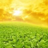 Gemüse-Felder und Sonnenuntergang Stockbild