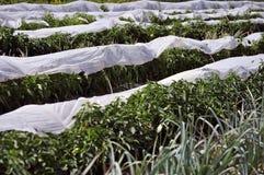 Gemüse geschützt vor Frost Lizenzfreie Stockbilder