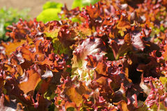 Gemüse grünt Nahaufnahme Lizenzfreie Stockfotografie