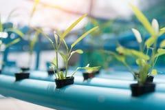 Gemüse-Hydroponik, die im Ackerlandhintergrund bewirtschaftet Organisches F Stockfotos