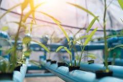 Gemüse-Hydroponik, die im Ackerlandhintergrund bewirtschaftet Organisches F Lizenzfreie Stockbilder