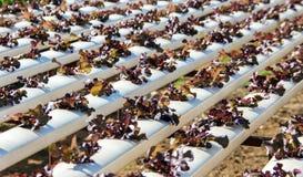 Gemüse im Kunststoffrohr des Wasserkulturkonzeptes lizenzfreie stockbilder