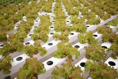 Gemüse im Wasserkulturbauernhof Lizenzfreie Stockbilder