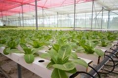 Gemüse im Wasserkulturbauernhof Stockfotografie