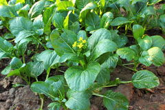 Gemüseanlage Lizenzfreies Stockfoto