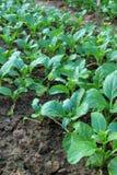 Gemüseanlage Lizenzfreie Stockbilder