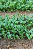 Gemüseanlage Lizenzfreies Stockbild