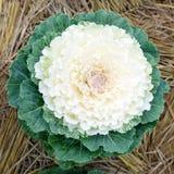 Gemüseanlage des frischen Kohls im Garten erntete quadratische Spitze V Lizenzfreie Stockbilder