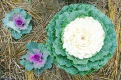 Gemüseanlage des frischen Kohls im Garten erntete quadratische Spitze V Lizenzfreies Stockfoto