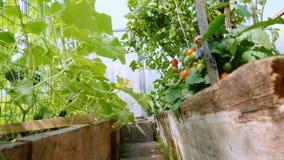 Gemüseanlagen im Gewächshaus stock video footage