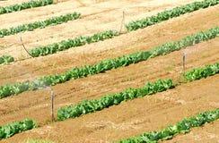 Gemüsebauernhof des grünen Chinakohls. Stockbilder
