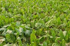Gemüsefeld Lizenzfreies Stockbild