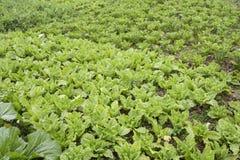 Gemüsefeld Lizenzfreie Stockfotografie