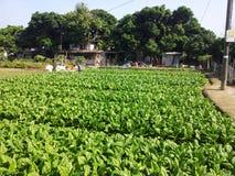 Gemüsefeld Stockbild