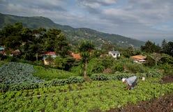 Gemüsefeld im Central Valley von Costa Rica Stockbilder