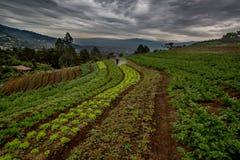 Gemüsefeld in Mittelamerika Stockbilder
