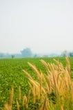 Gemüsefeld und Reed Flower Stockfoto