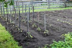Gemüsegarten band Tomatenpflanzen an stockfotos