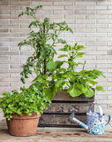 Gemüsegarten in einem Weinlesefruchtkasten mit tomat Lizenzfreies Stockfoto
