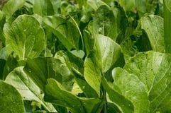 Gemüsegarten Kohl weit Gebrauch für angebraten, Dampf und Suppe Lizenzfreies Stockfoto