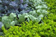 Gemüsegarten mit Kohl und Sellerie Lizenzfreies Stockbild