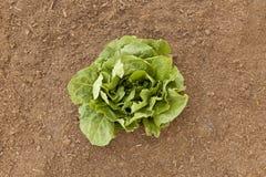 Gemüsegartenromaine-Kopfsalat Lizenzfreies Stockbild