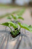 Gemüsegurke Stockfotos