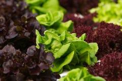 Gemüsehydroponik Stockfotografie