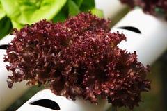 Gemüsehydroponik Stockbild