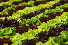 Gemüsehydroponik Stockfotos