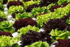 Gemüsehydroponik Lizenzfreies Stockfoto