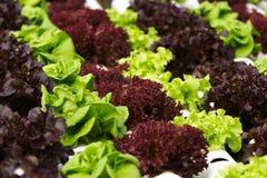 Gemüsehydroponik Lizenzfreie Stockbilder
