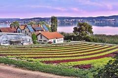 Gemüseinsel 'Reichenau 'auf dem Bodensee mit großen angebauten Kopfsalatsalaten in den Reihen neben einander stockbilder