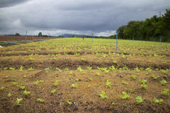 Gemüselandwirtschaft. Stockbild