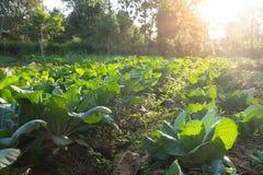 Gemüselandwirtschaftsfeld Lizenzfreies Stockbild