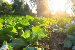 Gemüselandwirtschaftsfeld Stockbilder