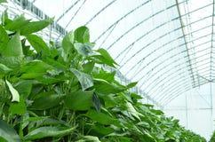 Gemüsepaprikapaprikaanlage im Gewächshaus Stockfotos