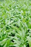 Gemüsepläne des Gemüses Stockfoto
