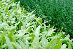 Gemüsepläne des Gemüses Stockfotografie
