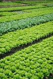 Gemüsepläne in einer Vielzahl des Gemüses Lizenzfreie Stockfotos