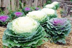 Gemüsereihe des frischen Kohls betriebsim Garten mit Grasba Stockbild