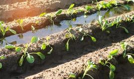 Gemüsereihen des jungen Kohls wachsen auf dem Gebiet Landwirtschaft, Landwirtschaft Landschaft mit der Ackerlandlandwirtschaft Stockbilder