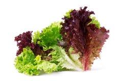 Gemüsesalatkopfsalat Lollo Rosso lokalisiert auf weißem Hintergrund Lizenzfreies Stockfoto