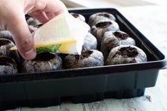 Gemüsesamen-Beginnen Lizenzfreie Stockbilder
