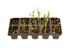Gemüseschößlinge, die in einem Samen-Behälter wachsen stockfotos