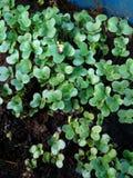 Gemüsesprösslinge Stockfotografie