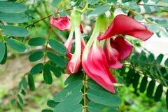 Gemüsesummenvogel, den Sesban Agasta rote Blume hat, kann sie essen Lizenzfreie Stockbilder