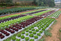 Gemüsezucht stockfotografie
