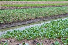 Gemüsezucht auf dem Ackerland Stockfotos